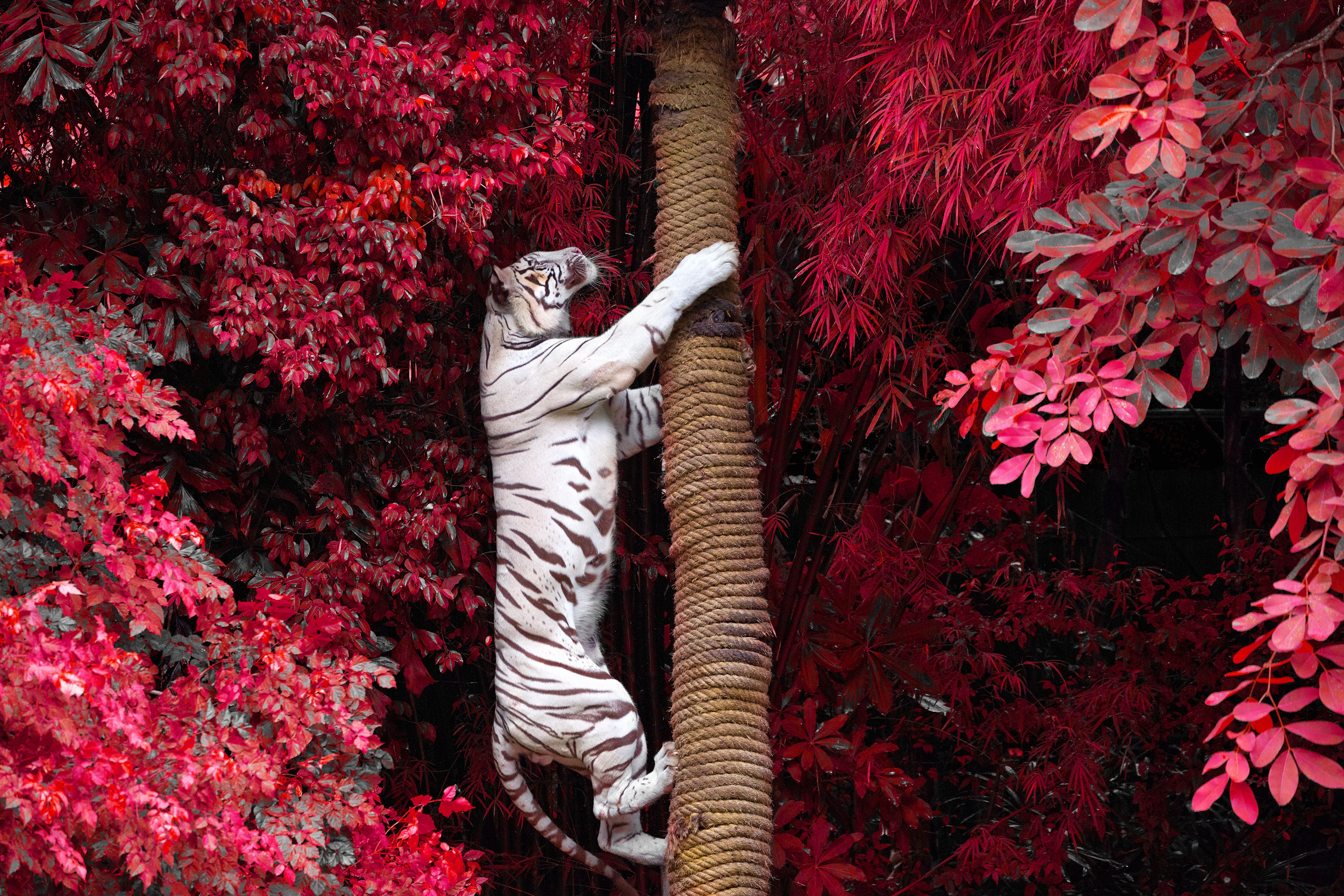 White Tiger photography wallpaper