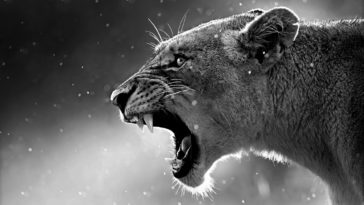 Lion Black and White Photo HD Wallpaper