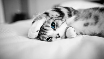 Blue Eye Cat black and white pics wallpaper