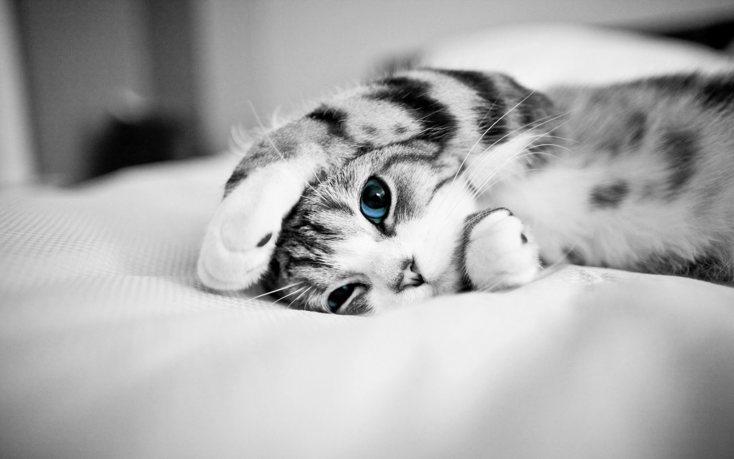 Black And White Photo Of Blue Eye Cat Desktop Wallpaper