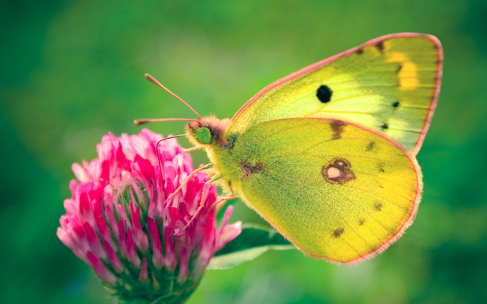Colias Hyale Butterfly Photo Wallpaper For Desktop