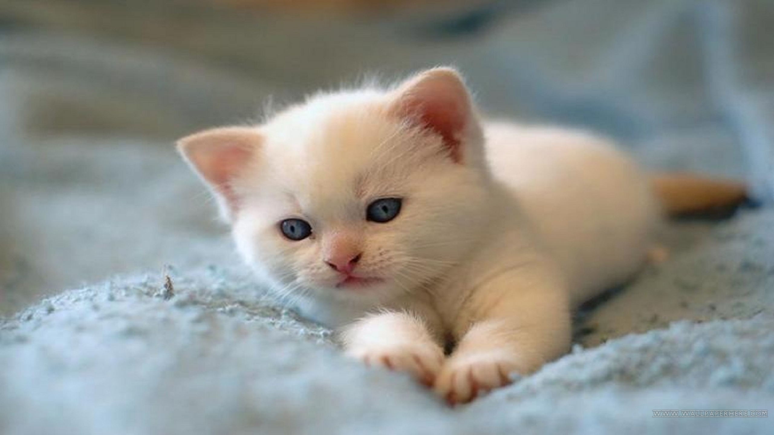 Cute White Kitten Wallpaper Photo Of Cat 2560x1440