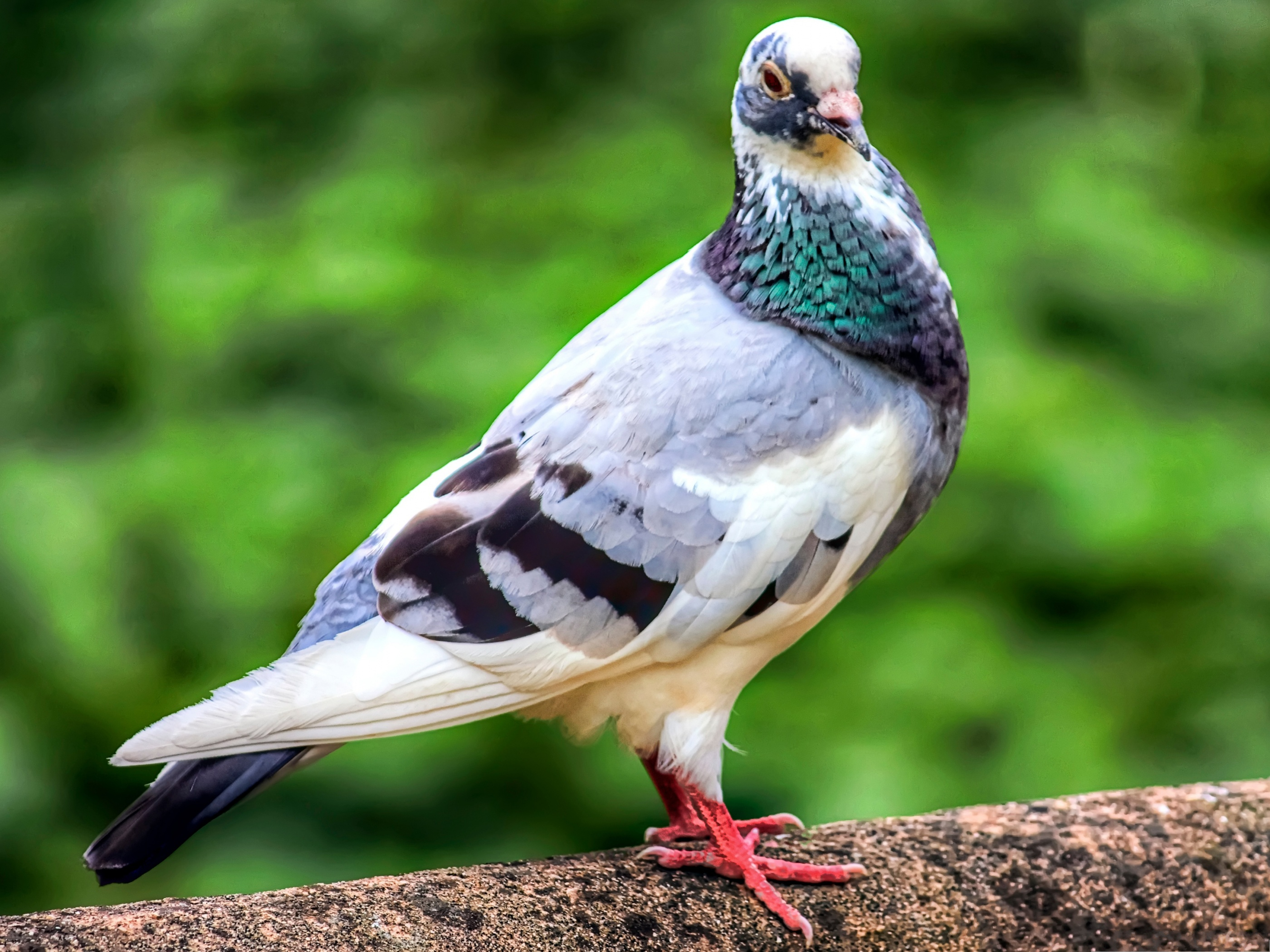 Colorful Pigeon Bird Photography Wallpaper HQ Photo
