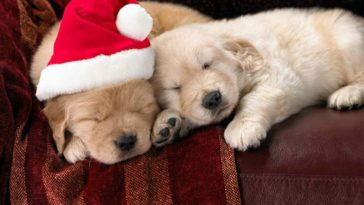 puppies picture Christmas spirit animal wallpaper