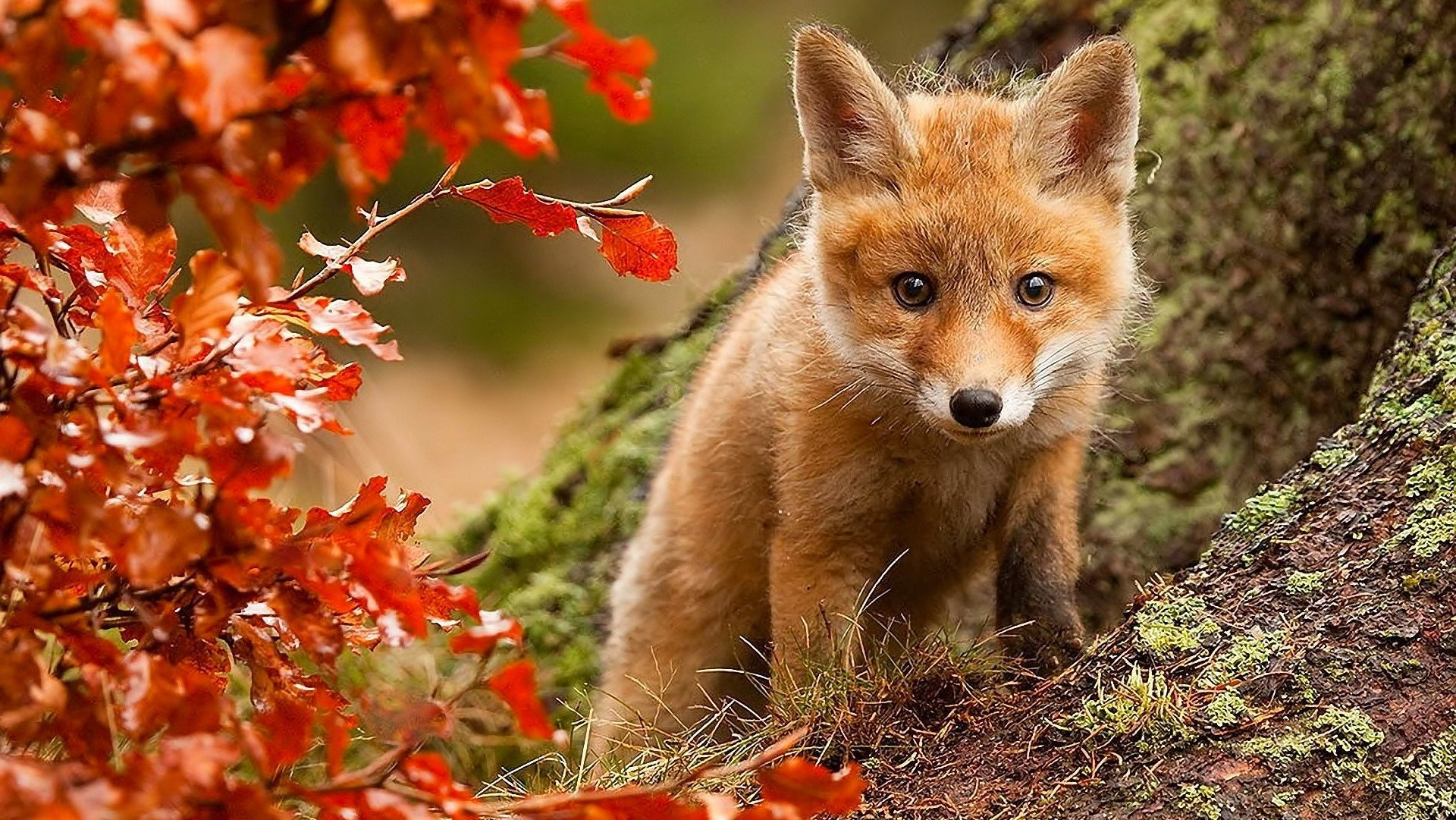 Fox in Autumn Season Photos Wallpapers