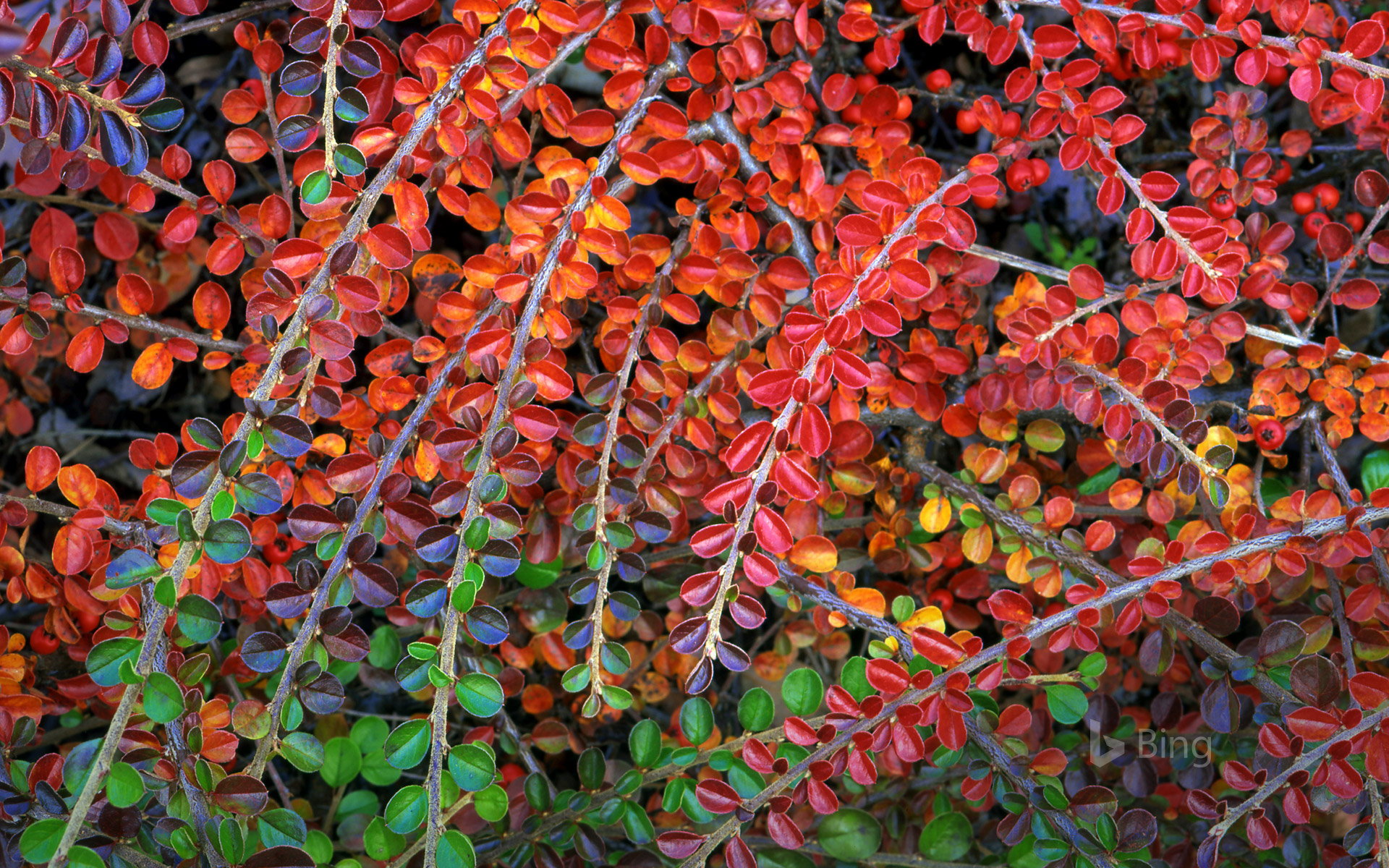 Fall-colored leaves of cotoneaster plant, Multnomah County, Oregon