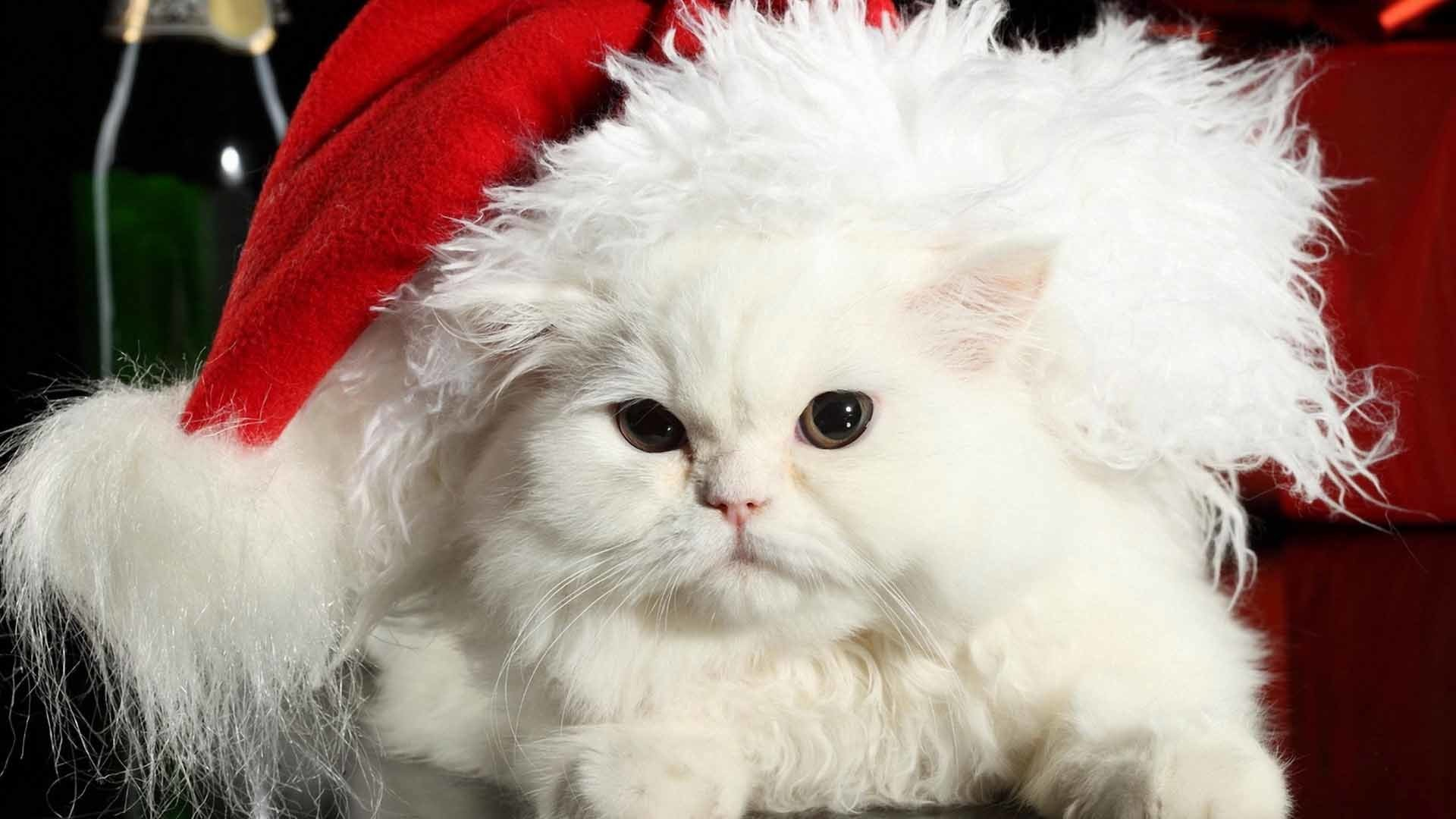 30 Christmas White Cat Photo Wallpapers