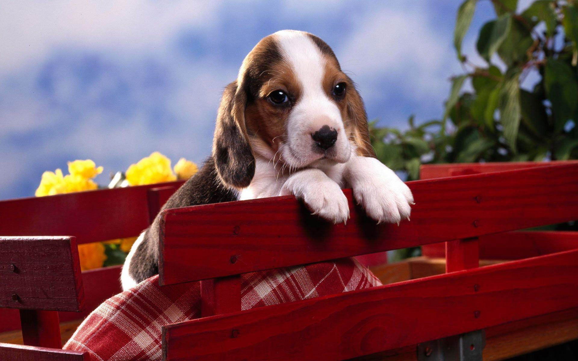 Cute Beagle Puppy HD Wallpapers