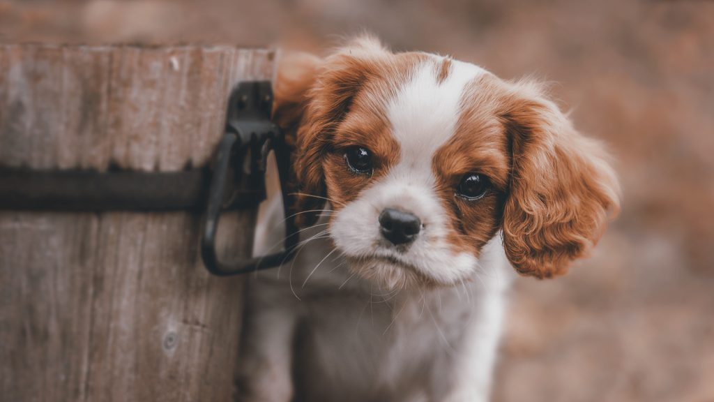 Cute Puppy Photos HD Wallpapers