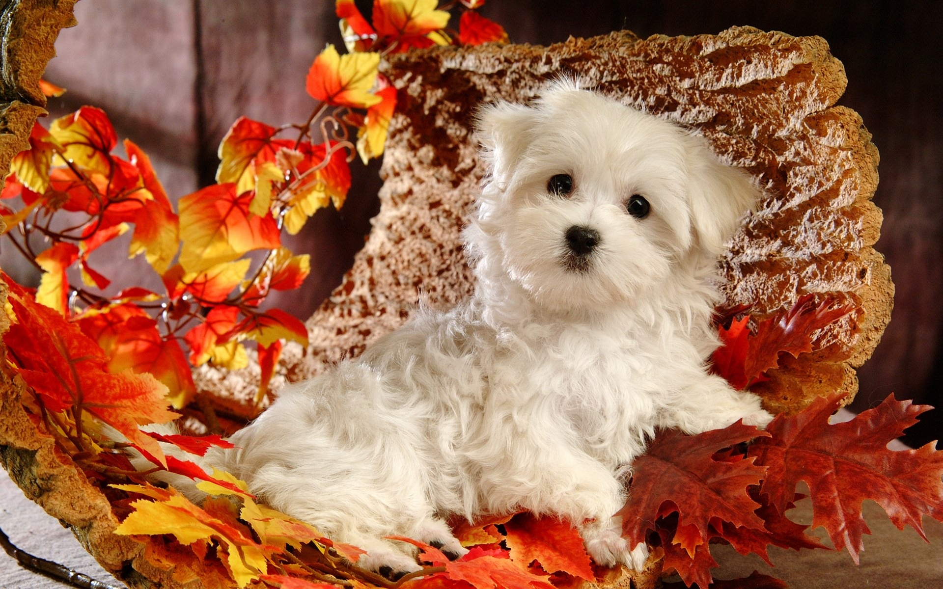 Cute White Fluffy Puppy Photos HD Wallpapers 21