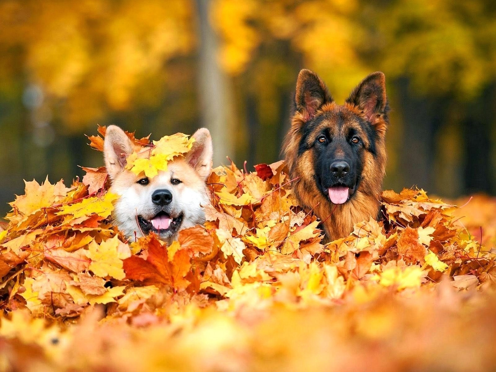 German Shepherd Dogs in Pile of Autumn Leaves