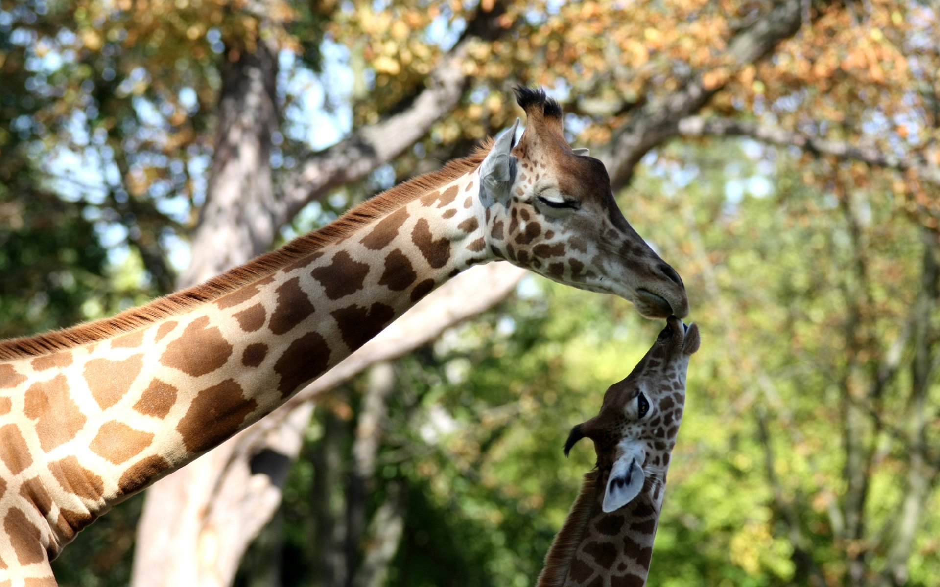 Giraffe Mother and Baby Heads Close Up Photography