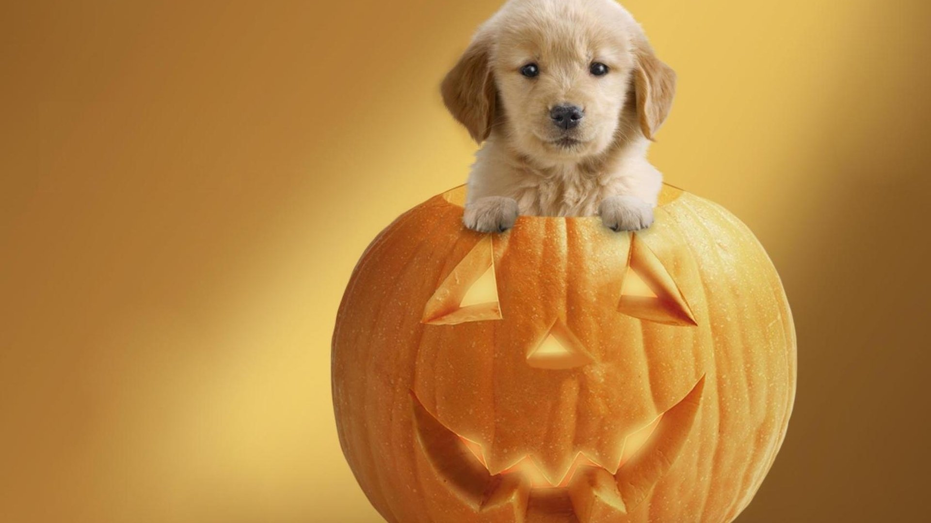 40 Halloween Pumpkins Dog Puppy Wallpapers HD for Desktop