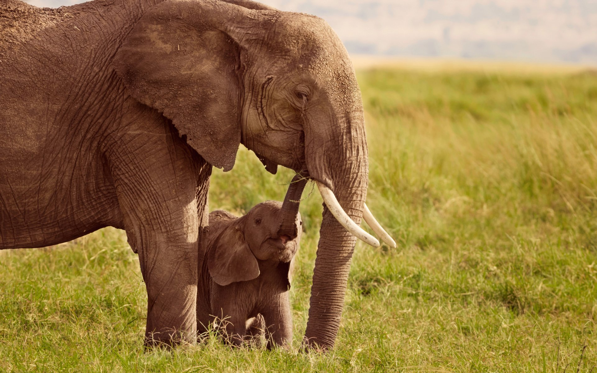 Moms and Baby Elephant Wallpaper