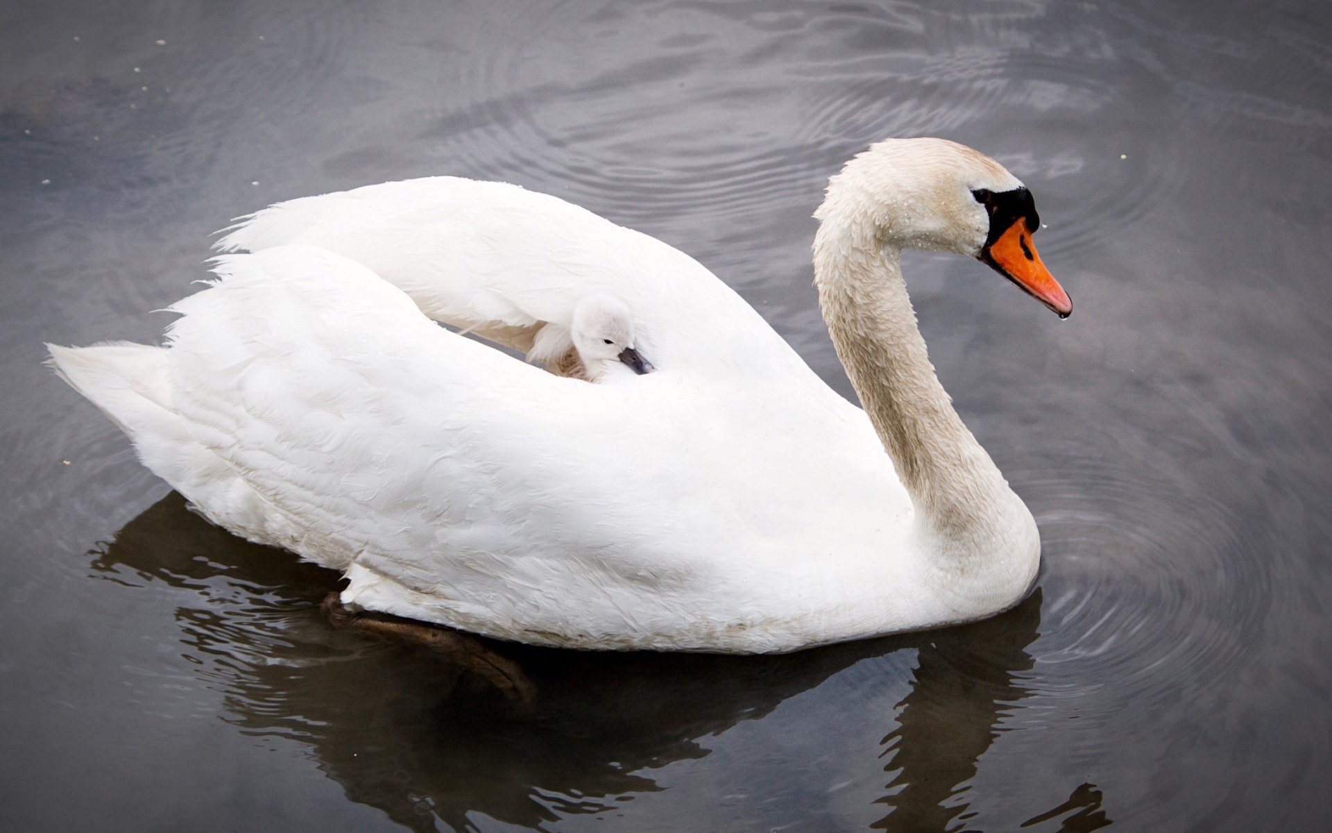 Mother Carrying Baby Swan on Back