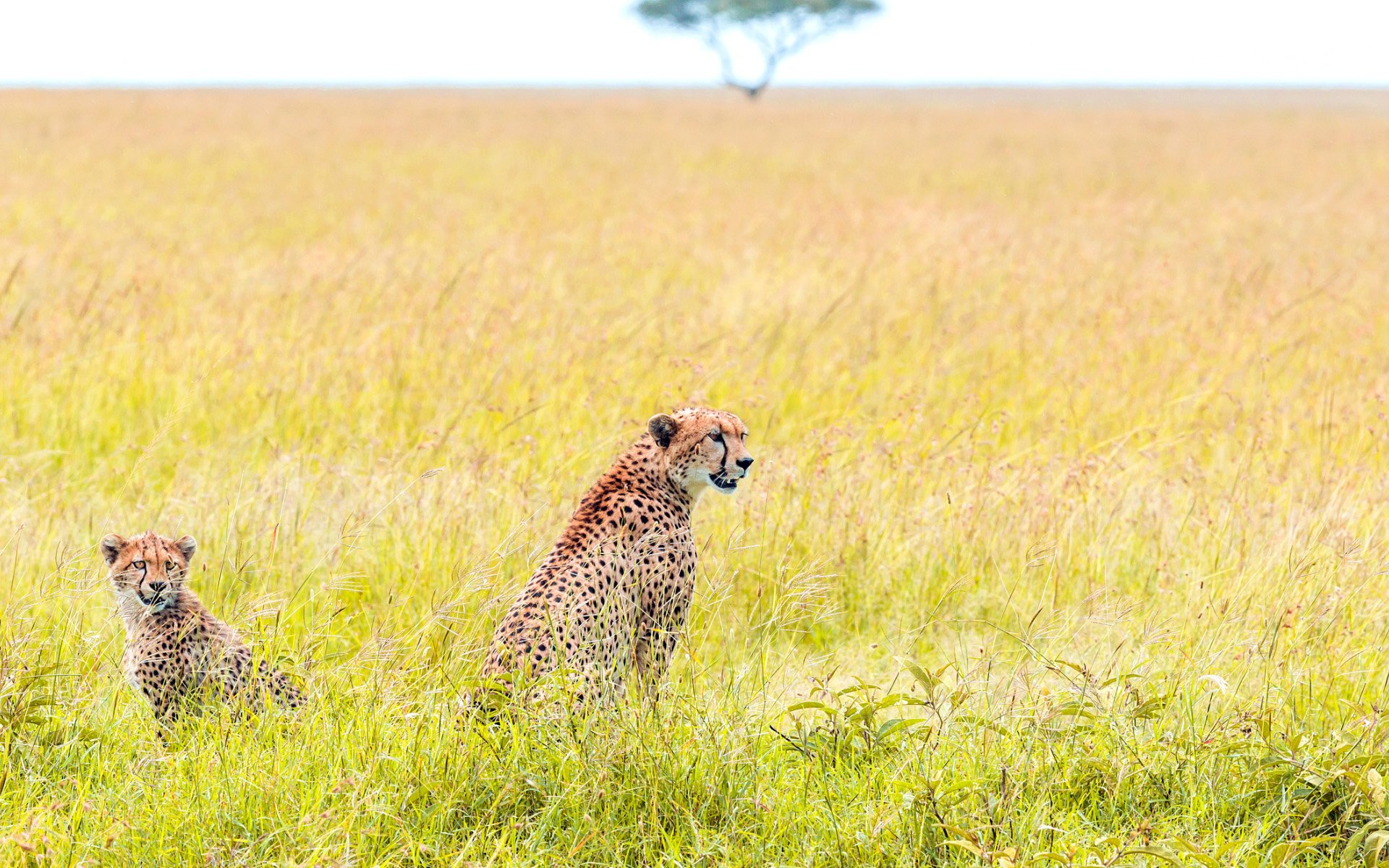 Mother Cheetah and Baby Wallpaper