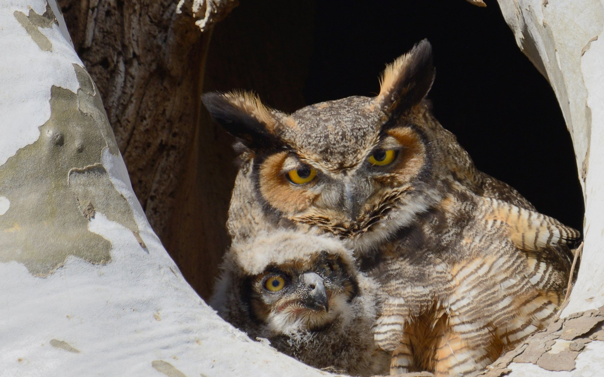 Mother Owl and Baby Perched in Hole in Tree