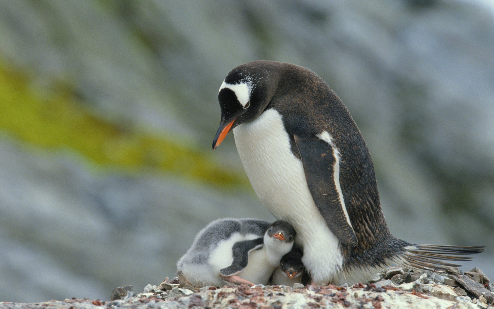 Mother and Baby Penguins Wallpaper