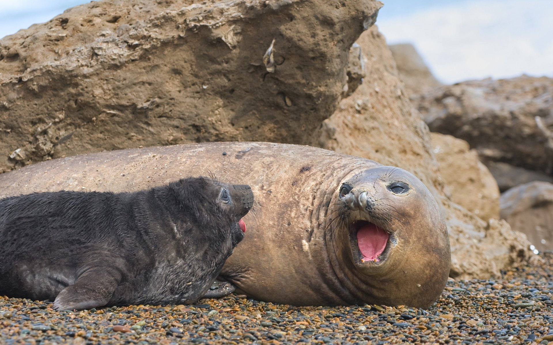 Mother and Baby Seal Pup Photo Background