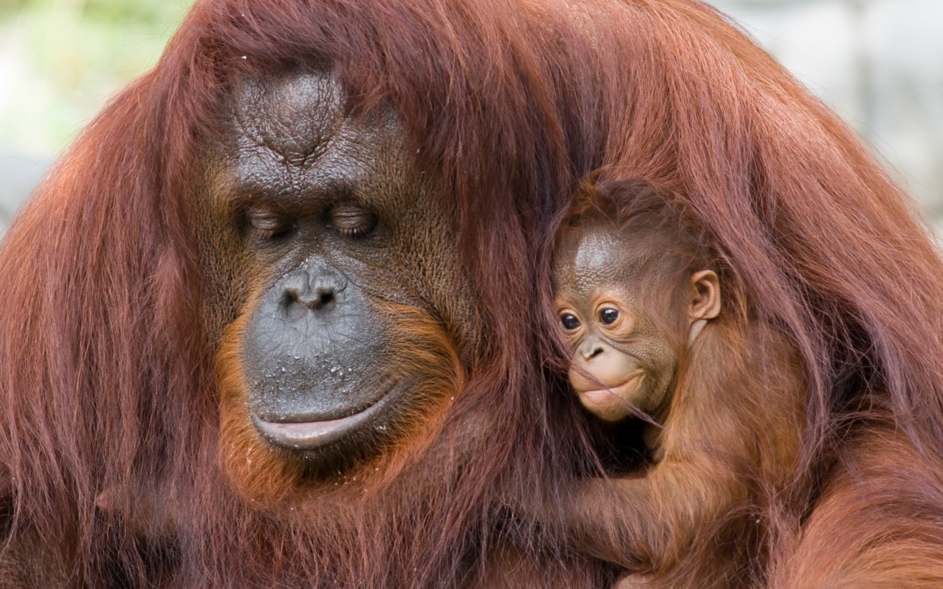 Orangutan Mum and Baby Wallpaper HD