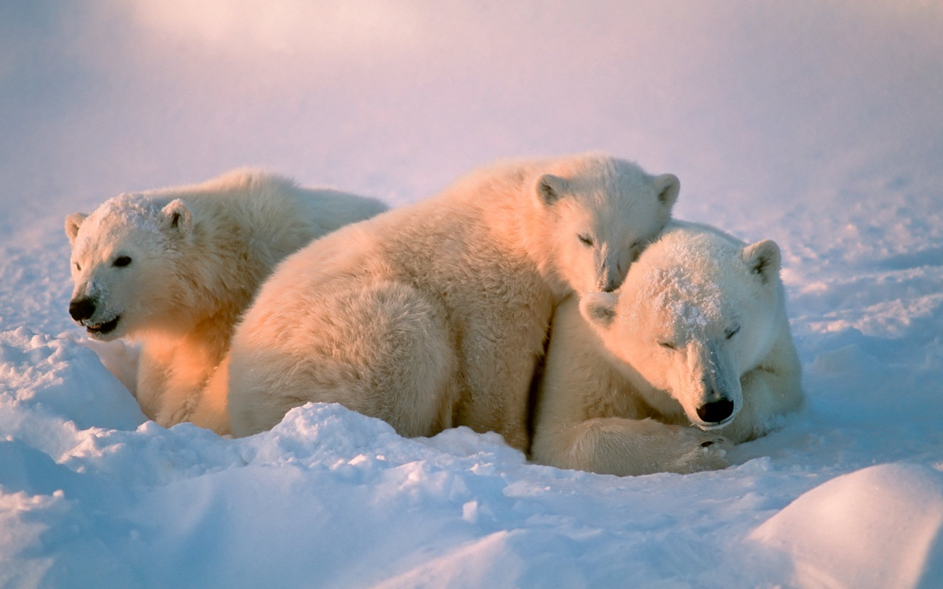 Polar Bear Family on Snow