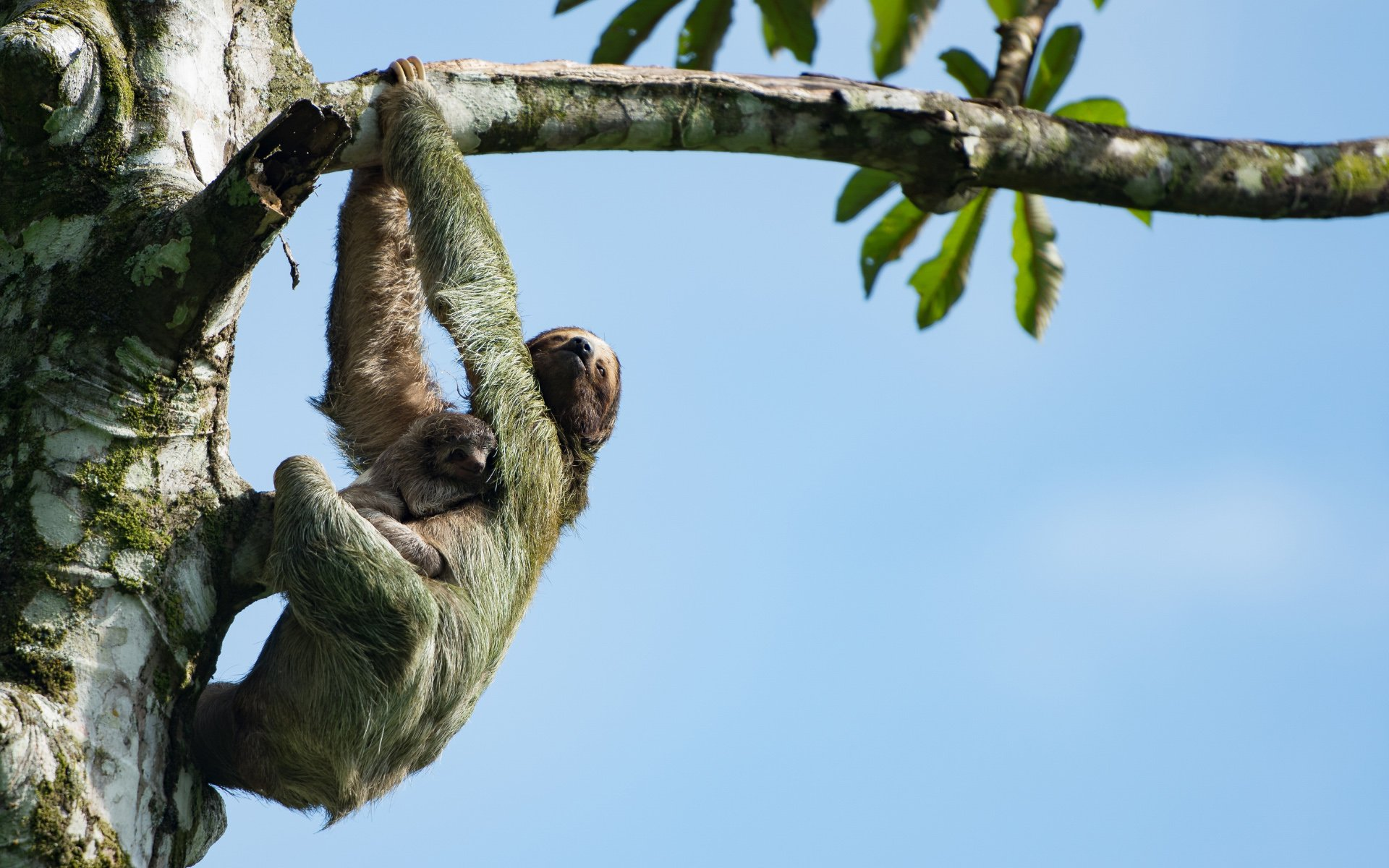 Sloth Mum and Baby Hanging in Tree