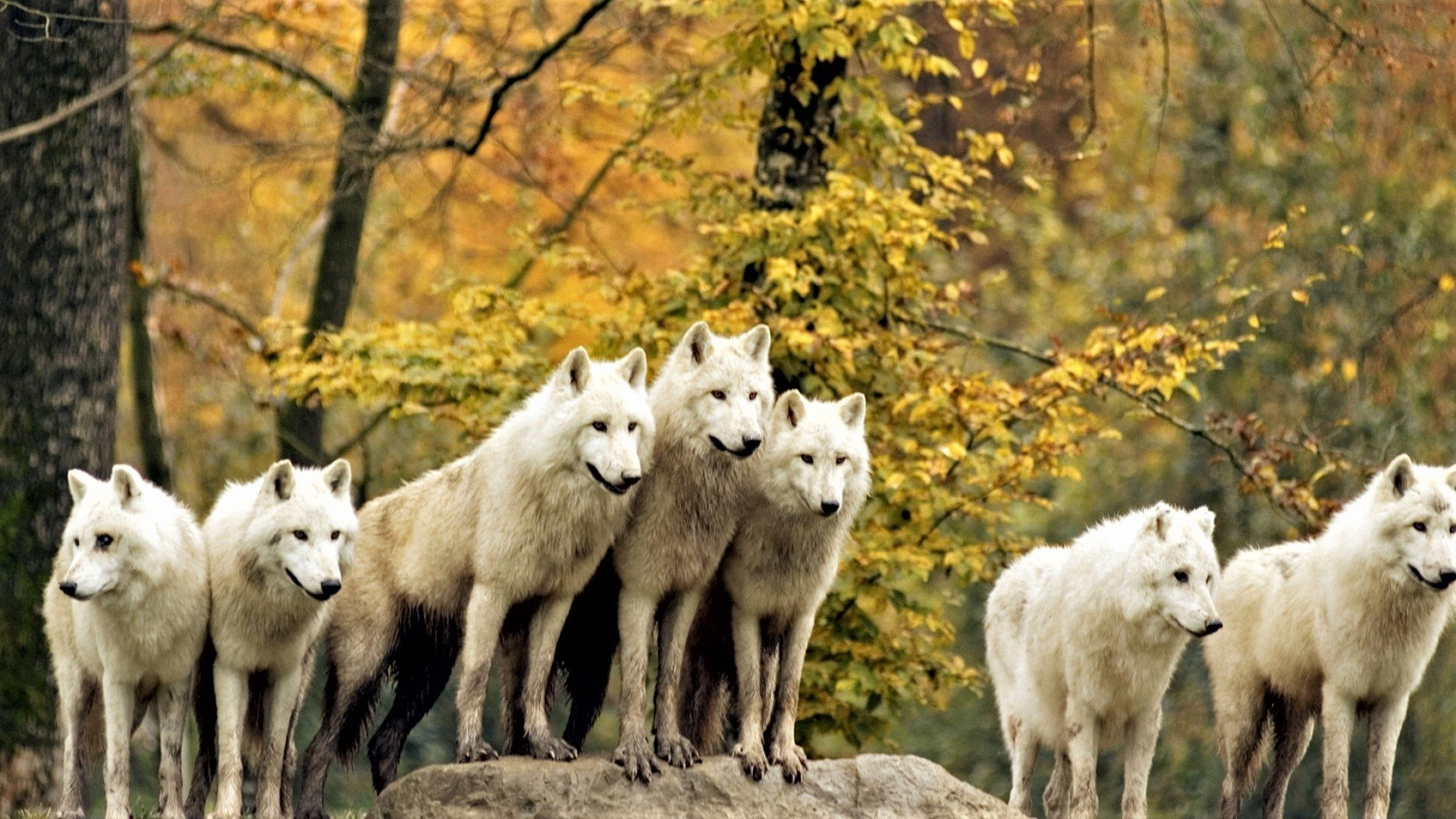 White Wolves in Autumn Forest