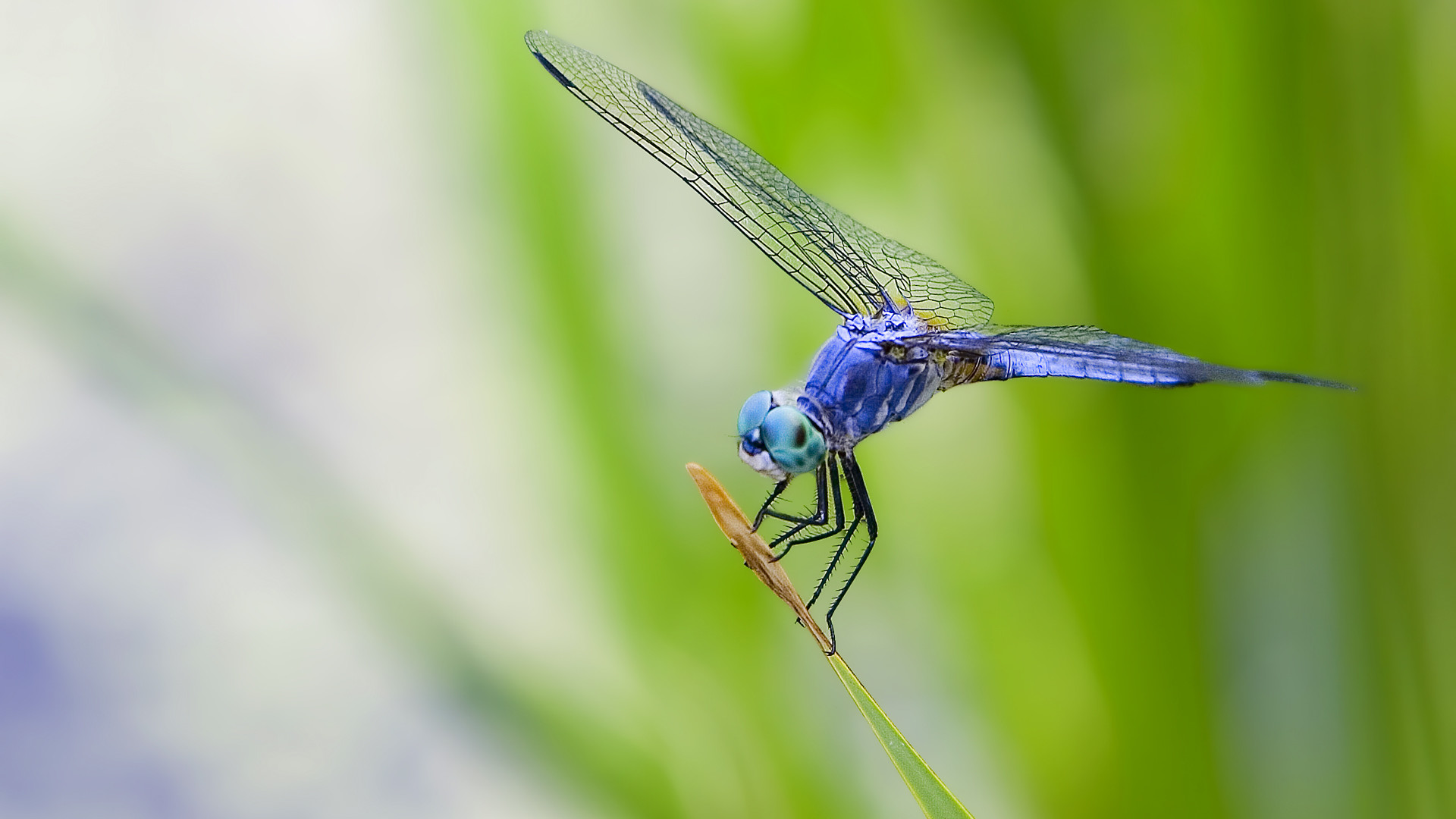 beautiful purple dragonfly photo wallpaper 1920x1080