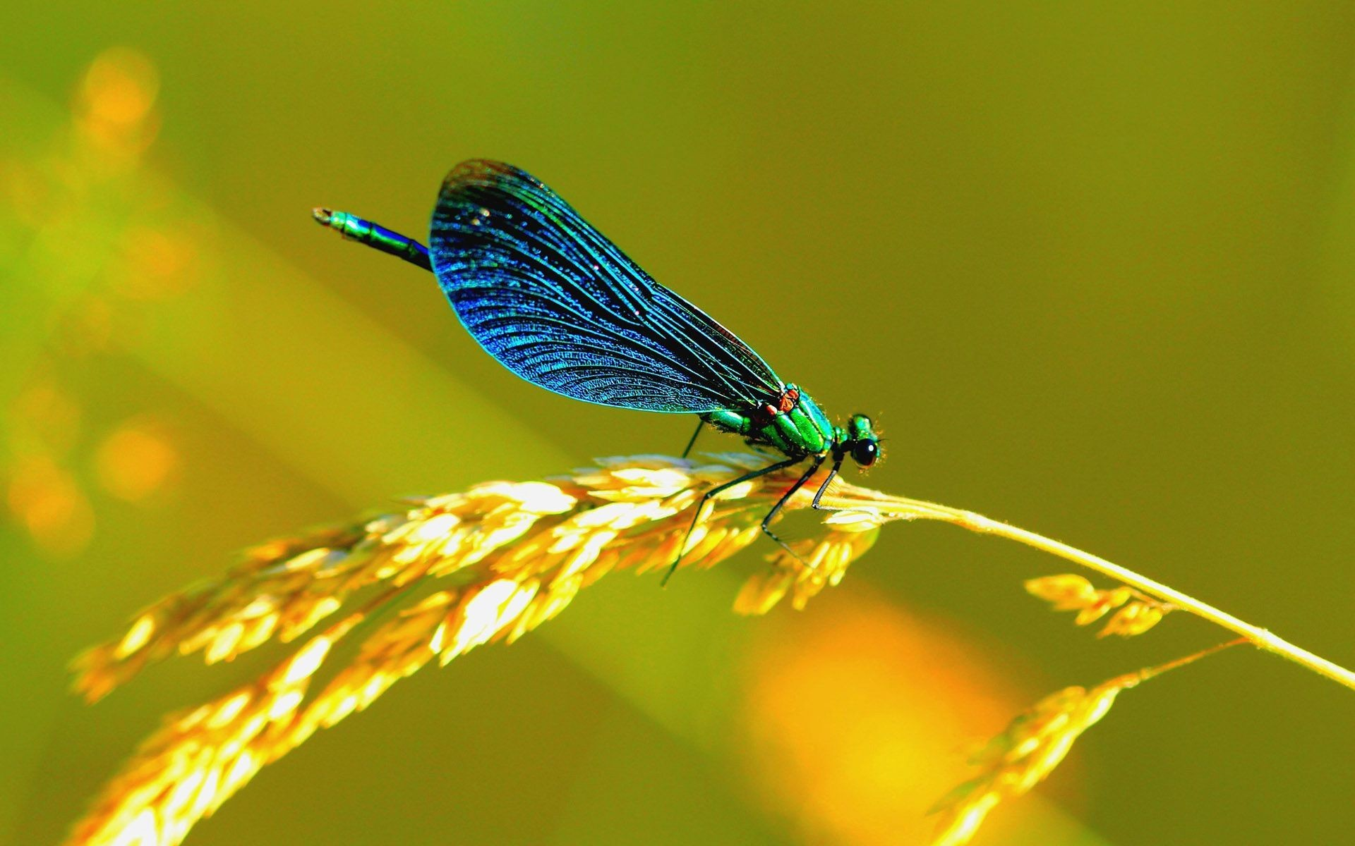 blue dragonfly wallpaper 1920x1200