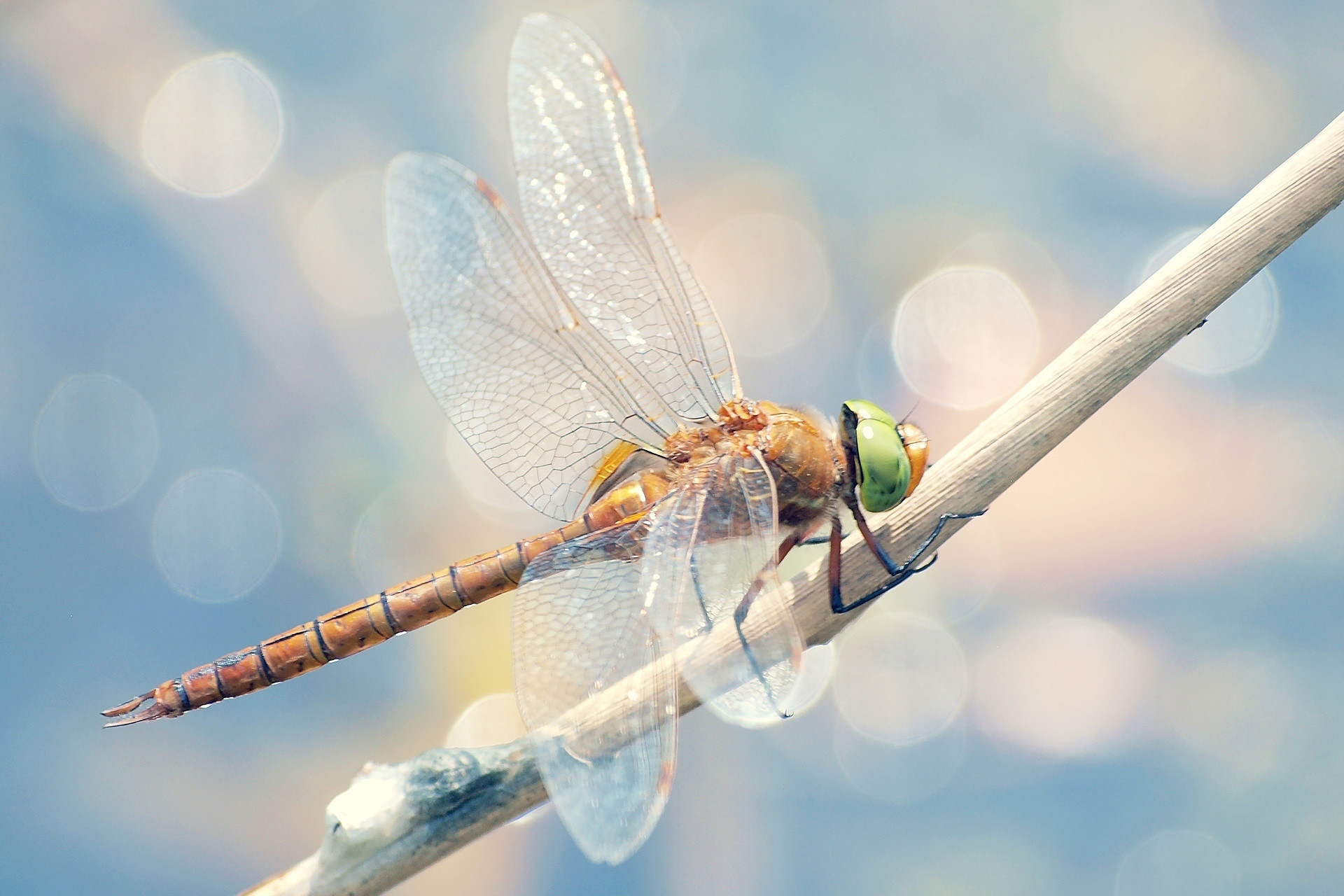 dragonfly wallpaper for computer