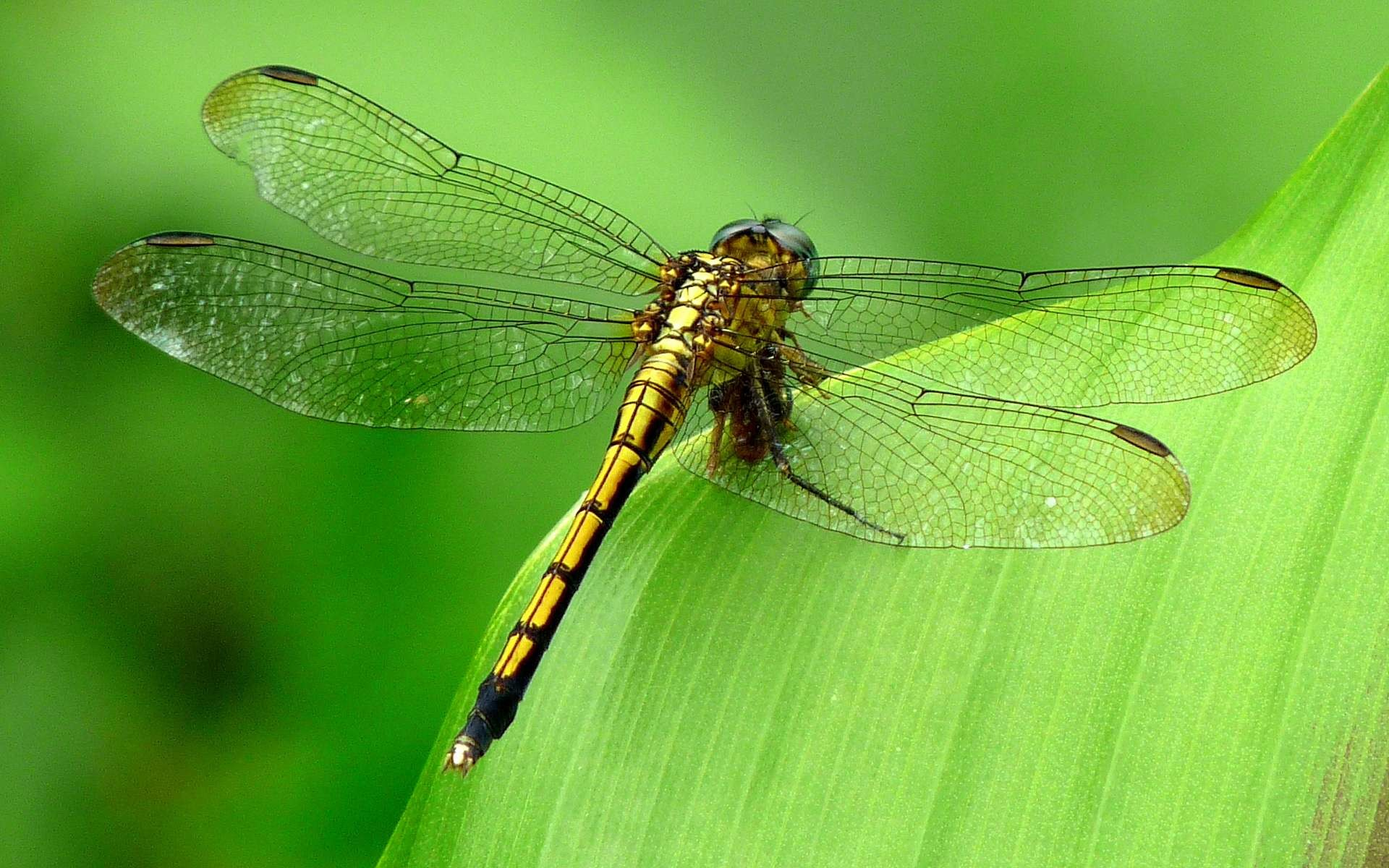 dragonfly wallpaper for desktop