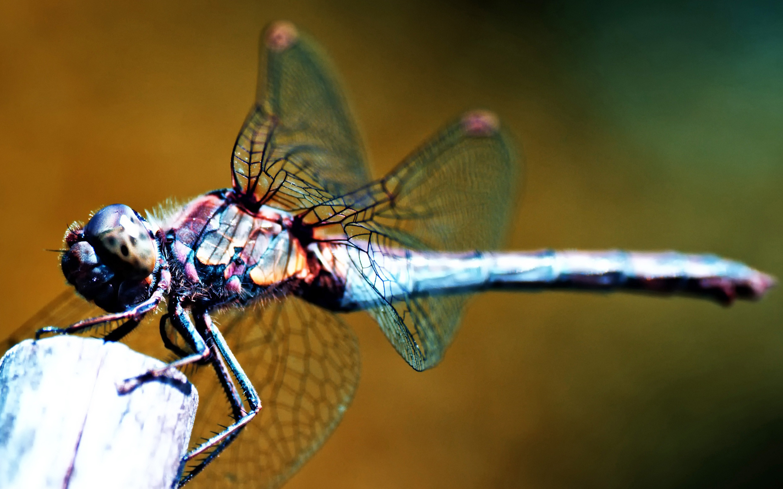 dragonfly wallpaper high quality 2560x1600
