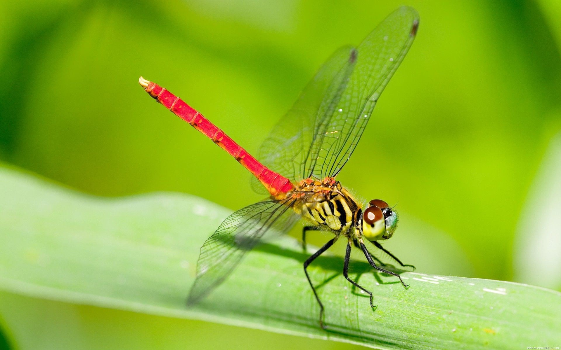 free dragonfly desktop wallpaper