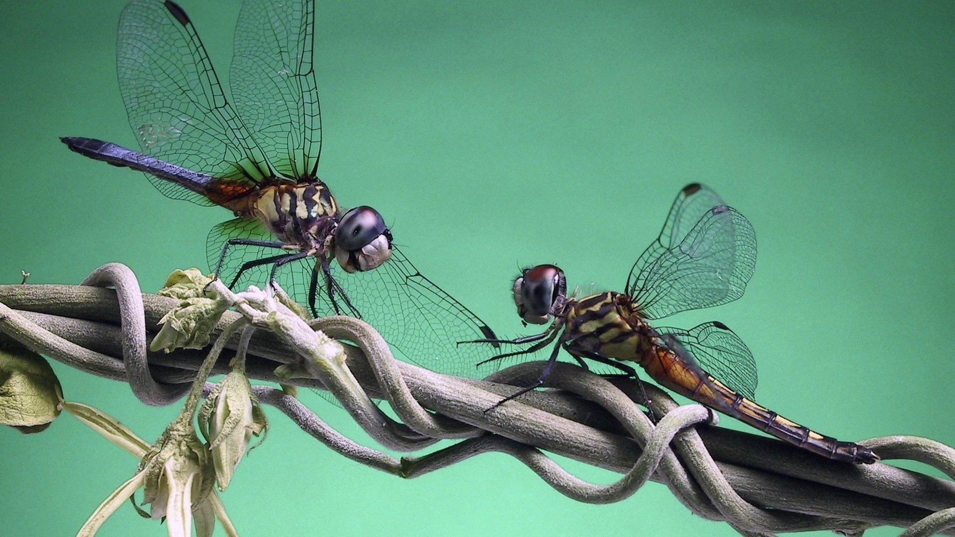 free dragonfly wallpaper download