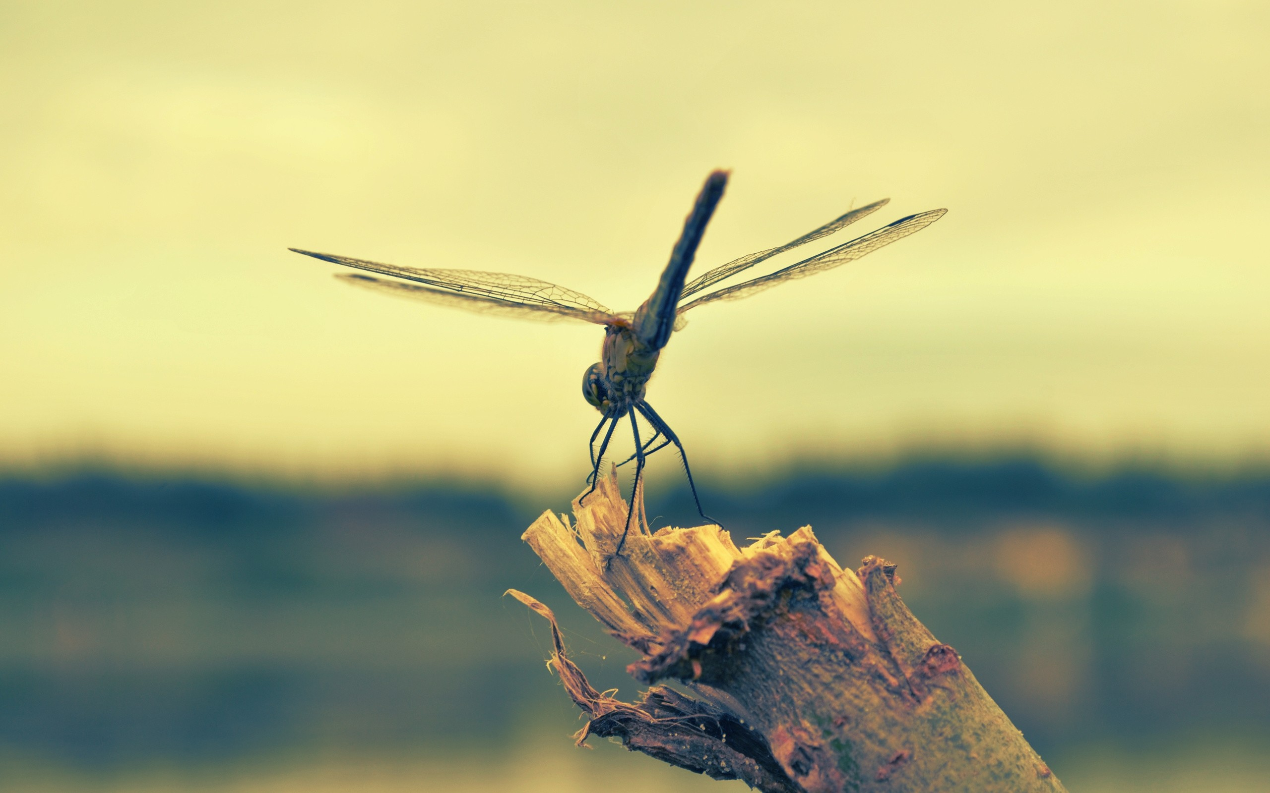 grey color dragonfly wallpaper