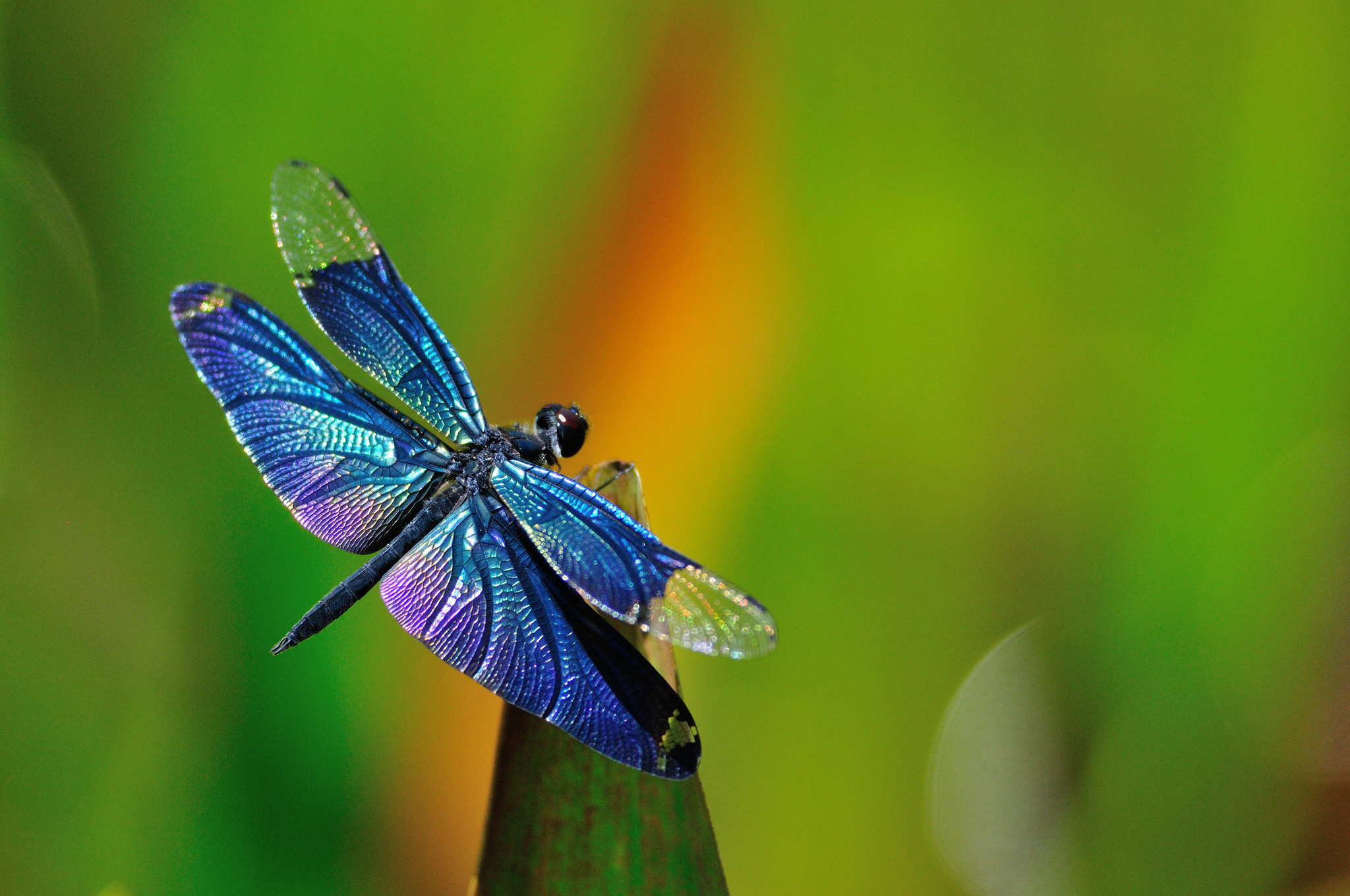 purple dragonfly wallpaper